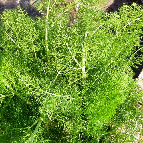 Fresh Fennel (herb)